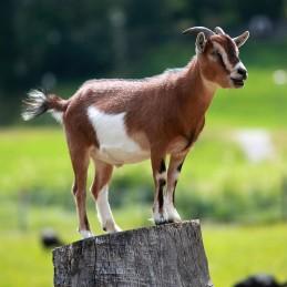 """He Goat """"Thenge"""""""